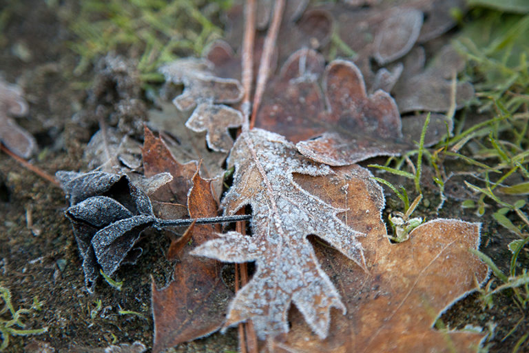 Dead Leaves with Frost
